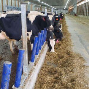 Agromatic FreeFEED cattle headlock alternative.