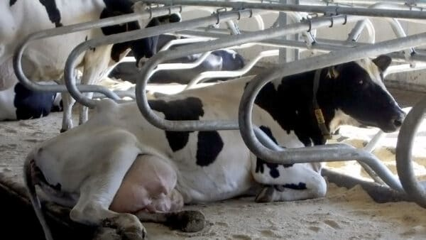 GEA 2-D Optima Cubicle with cow resting.