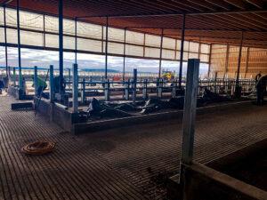 Siebrand Heifer barn freestall installation.