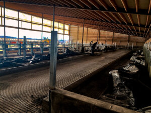 Siebrand Heifer barn cleaning after completing concrete work.